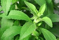 Stévia - Plante