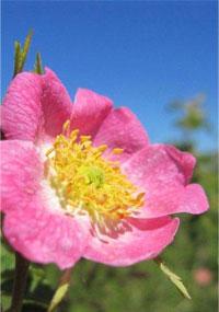 Fiche Conseils Sur L Huile De Rose Musquee Du Chili Proprietes Et